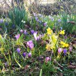 55.000 bloembollen in Buitenpost en Kollum de grond in