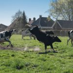 Koeiendans 2018 bij Marinus